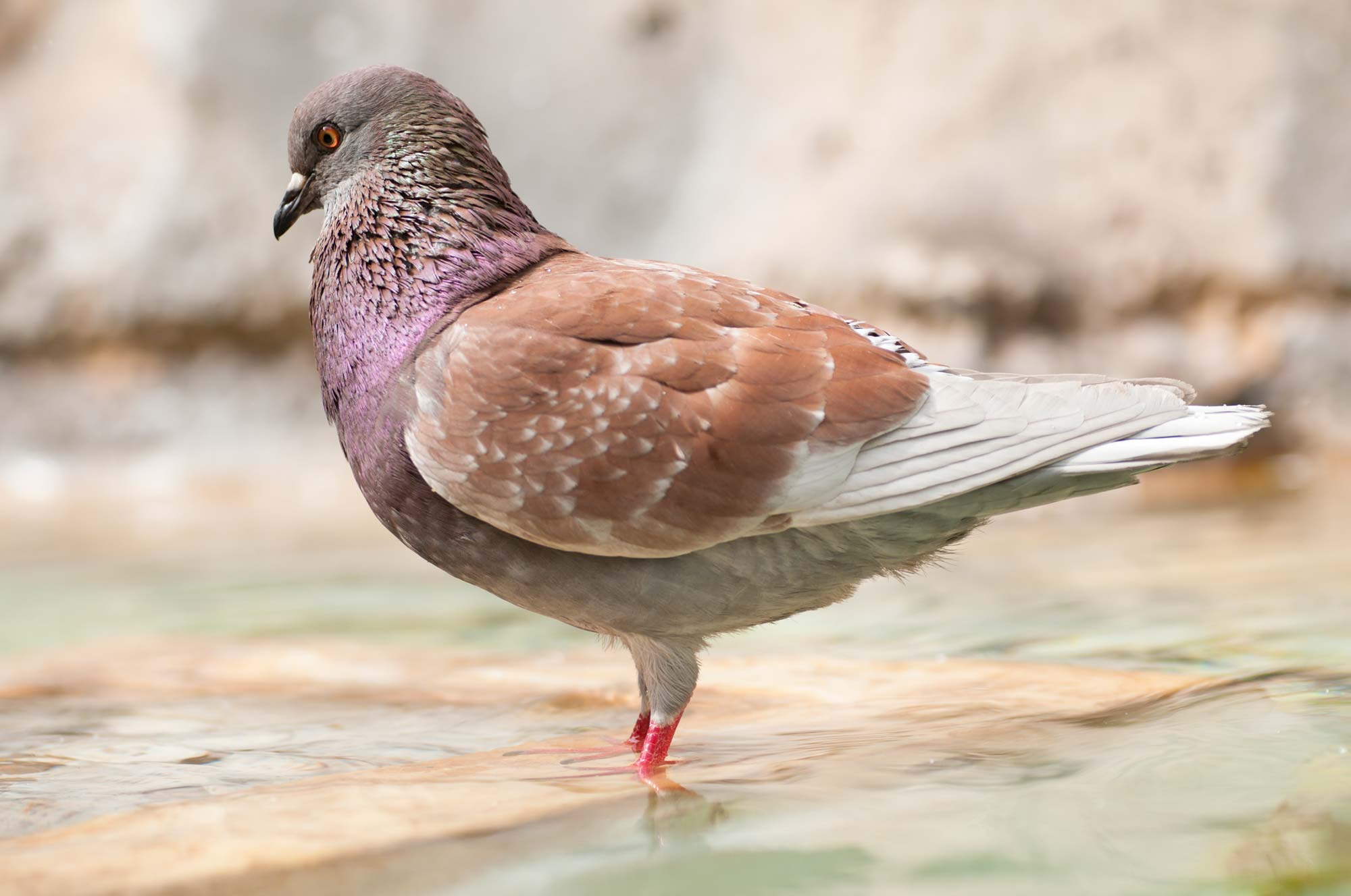 house the birds will put you at risk of contracting a disease. What follows are four of the most common diseases passed by pigeons